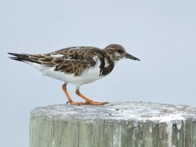 vogelexcursie-schiermonnikoog